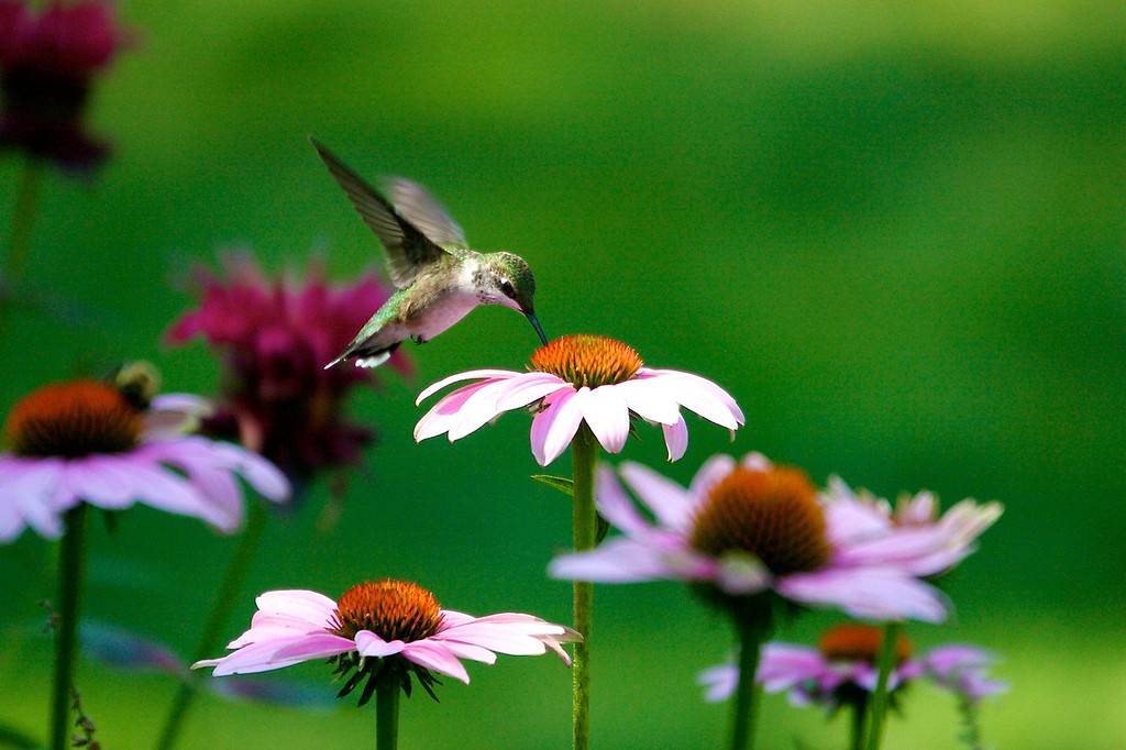 Hummingbird on Coneflower<br /> Copyright 2007, Tom Farmer