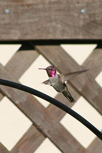 Male Anna's Hummingbird Central California 10-17-06
