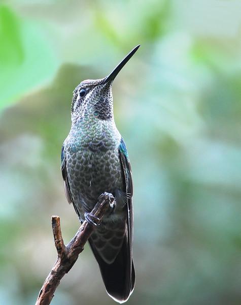 Magnificent Hummingbird at Miller Canyon,AZ