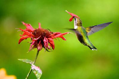 Hummingbird stuck in flower Copyright 2007, Tom Farmer
