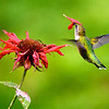Hummingbird stuck in flower<br /> Copyright 2007, Tom Farmer