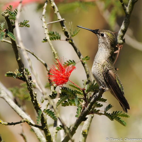 An Anna's Hummingbird in a Baja Fairy Duster bush