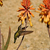 An Anna's Hummingbird drinking nectar from a Red Hot Poker plant