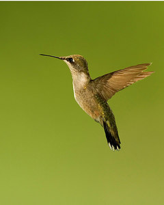HummingBird-edge-sharpened-ADK_8x10_printed-2467