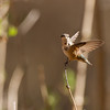 Hummingbird take-off