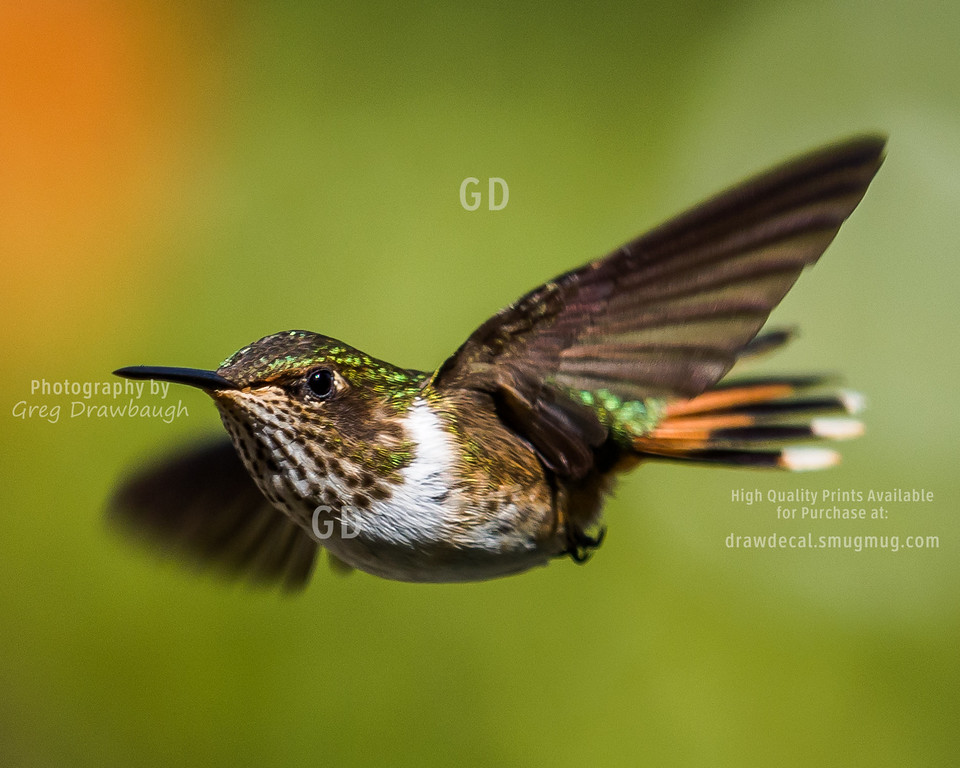 Female Volcano Hummingbird