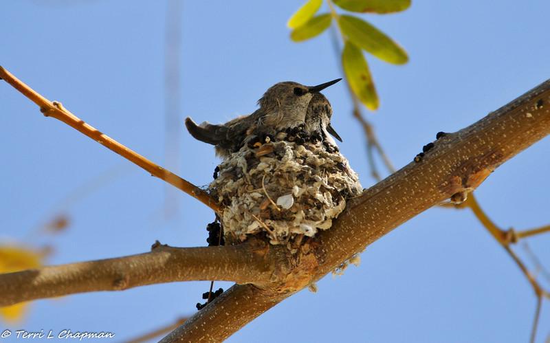 Costa's Hummingbird babies