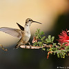 A juvenile male Black-chinned Hummingbird landing on a Baja Fairy Duster plant