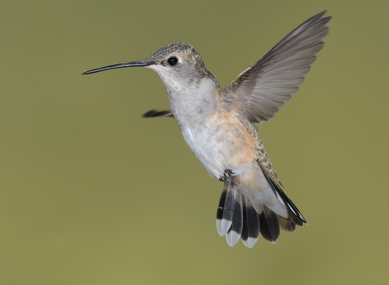 famale Black-chinned Hummingbird at Ash Canyon, AZ.
