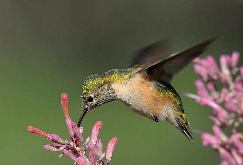 female Calliopi hummingbird at Ash Canyon B&B,AZ.