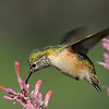 female Calliopi hummingbird at Ash Canyon B&B,AZ.