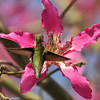 An Anna's Hummingbird with a Silk Floss bloom