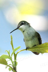 #933  A ruby throated hummingbird juvenile male
