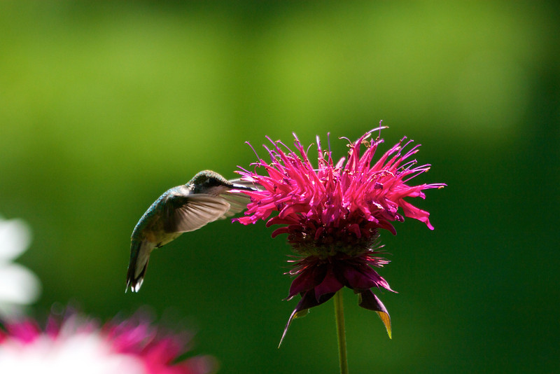 Hummingbird on Monarda<br /> Copywrite 2008, Tom Farmer