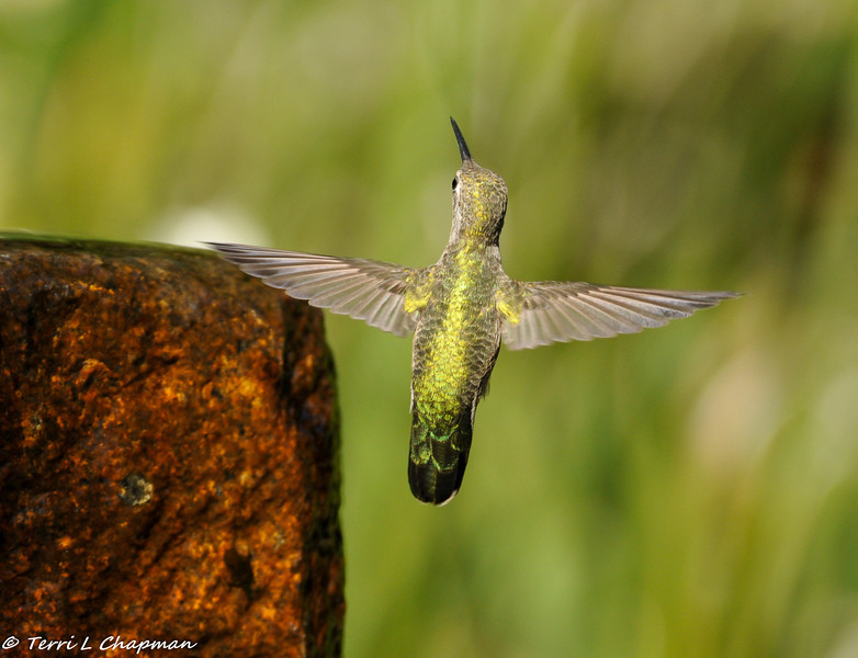 A female Anna's Hummingbird in flight