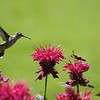 Hummingbird spots a moth<br /> Copyright 2007, Tom Farmer