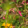 Allen's Hummingbird with two bees flying around him