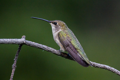Black-chinned Humminbird - female (Archilochrus alexandri)