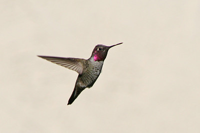 I am fortunate that my neighbor's house makes a nice background for my hummer photos! Male Anna's Hummingbird Central California 10-17-06
