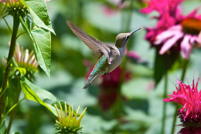 Hummingbird among flowers Copyright 2007, Tom Farmer
