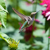 Hummingbird among flowers<br /> Copyright 2007, Tom Farmer