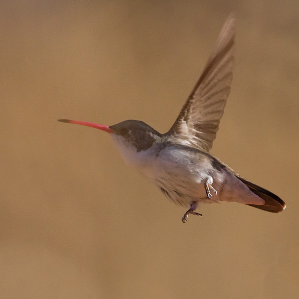Violet-crowned hummingbird in flight