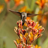 Allen's Hummingbird (female) with Kangaroo Paws