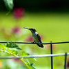 Hummingbird spitting<br /> Copyright 2007, Tom Farmer