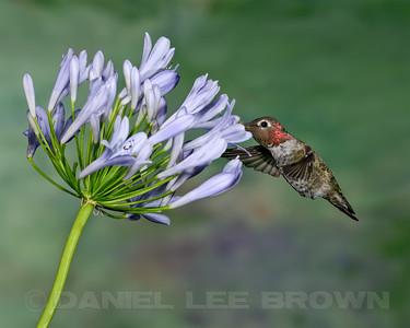 Male Anna's Hummingbird, Sacramento County, CA, 7-7-2013. Cropped image