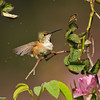 A male Allen's Hummingbird - This bird had taken a bath on the wet rose petals and was shaking the water off his feathers