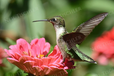 #1028  A ruby throated hummingbird juvenile male perched on a zinnia petal