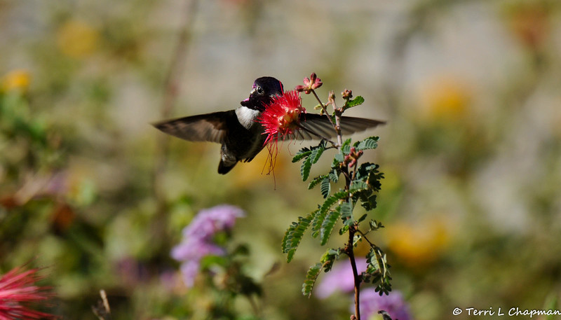 A male Costa's Hummingbird sipping nectar from a Baja Fairy Duster Bloom