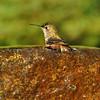 Allen's Hummingbird taking a bath in a fountain