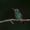 Broad-billed Hummingbird, male (Cyanthus latirostris)