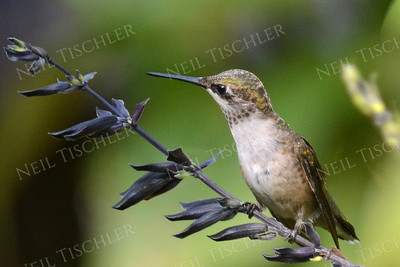 #1086  Ruby throated hummingbird juvenile male watching a tiny bug