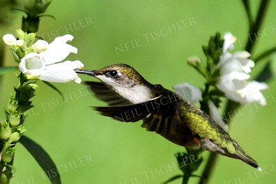 #1081  A male juvenile ruby throated hummingbird feeds at a white blossom.