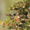 A male Anna's Hummingbird