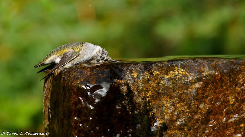 Anna's Hummingbird taking a bath