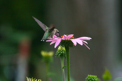 Hummingbird on Coneflower Copyright 2007, Tom Farmer