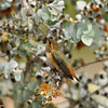 Allen's Hummingbird (female) perched on a Kruse's Mallee bush
