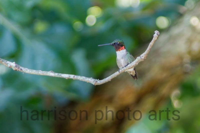 Ruby-Throated Hummingbird - male