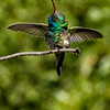 Broad-billed hummingbird shaking its head