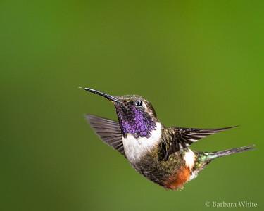 Purple-throated Woodstar