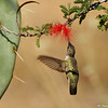 A female Black-chinned Hummingbird drinking nectar from a Baja Fairy Duster bloom