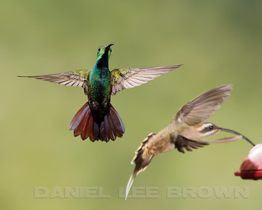 GREEN-BREASTED MANGO, male with a Long-billed Hermit
