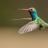 Broad-billed Hummingbird, Santa Rita Lodge, Madera Canyon, Arizona
