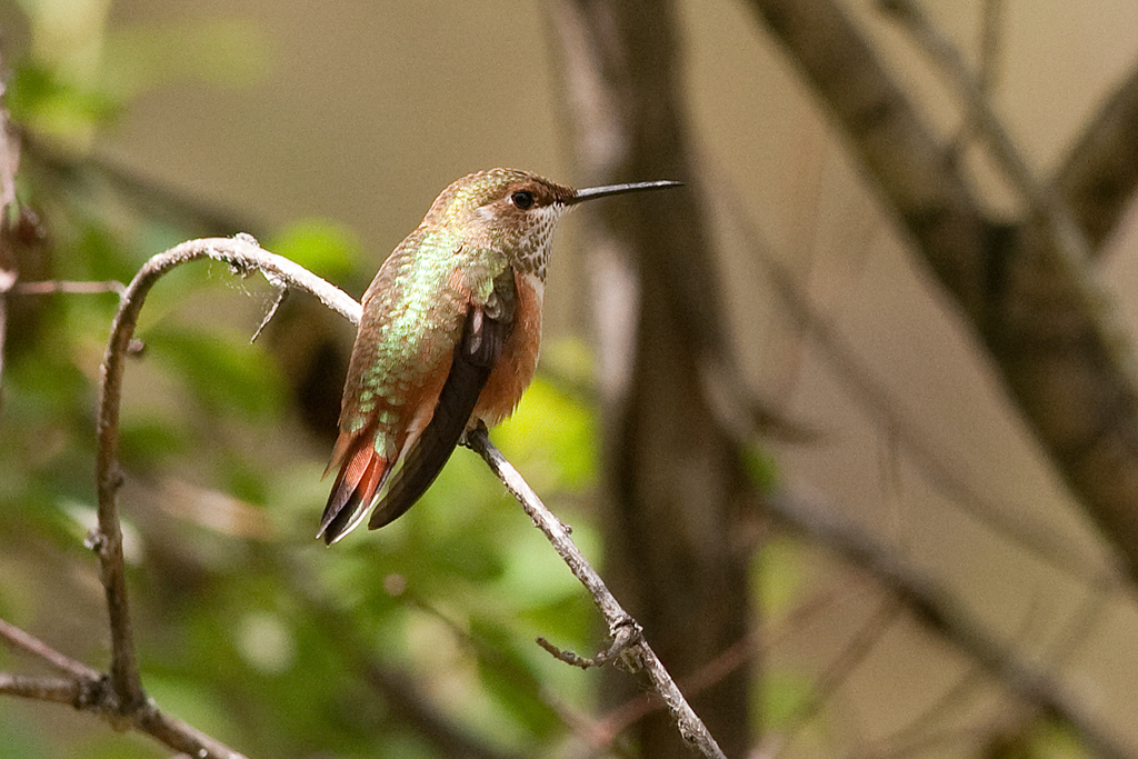 Callipe Hummingbird, Tieton River