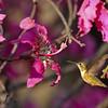 An Allen's Hummingbird preparing to sip nectar from a Floss Silk bloom