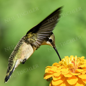 #1204  A ruby throated hummingbird sips from a yellow zinnia.