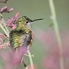 female Calliope Hummingbird at Ash Canyon B&B,AZ.